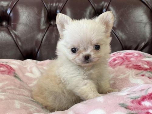 チワワ(スムース)の子犬(ID:1248411143)の3枚目の写真/更新日:2018-06-06