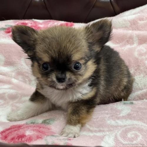チワワ(ロング)の子犬(ID:1248411144)の1枚目の写真/更新日:2018-05-14