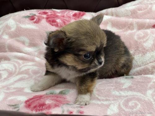 チワワ(ロング)の子犬(ID:1248411144)の2枚目の写真/更新日:2018-05-14