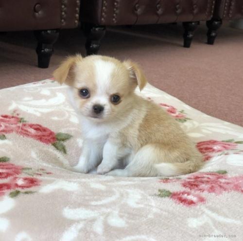 チワワ(ロング)の子犬(ID:1248411145)の1枚目の写真/更新日:2018-05-14