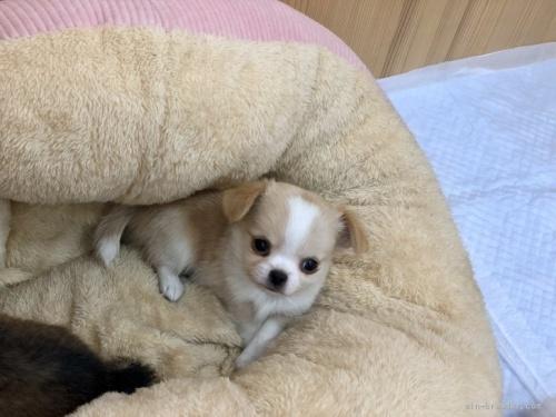 チワワ(ロング)の子犬(ID:1248411145)の2枚目の写真/更新日:2021-08-24