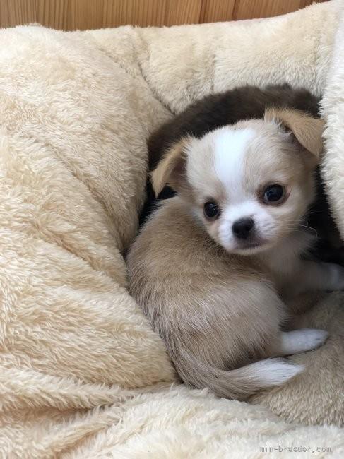 チワワ(ロング)の子犬(ID:1248411145)の3枚目の写真/更新日:2018-05-14
