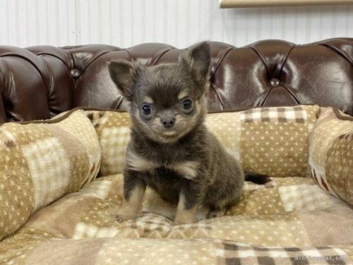 チワワ(ロング)の子犬(ID:1248411146)の2枚目の写真/更新日:2018-05-16