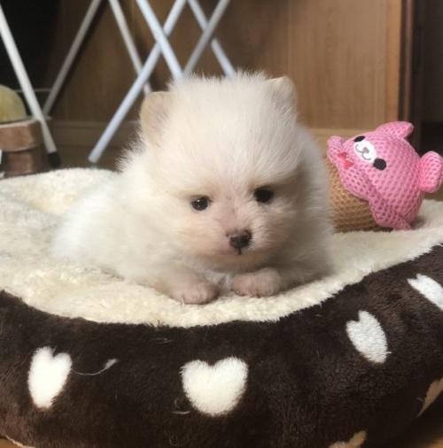 ポメラニアンの子犬(ID:1248411148)の1枚目の写真/更新日:2019-03-09