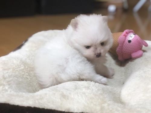 ポメラニアンの子犬(ID:1248411148)の2枚目の写真/更新日:2018-05-14