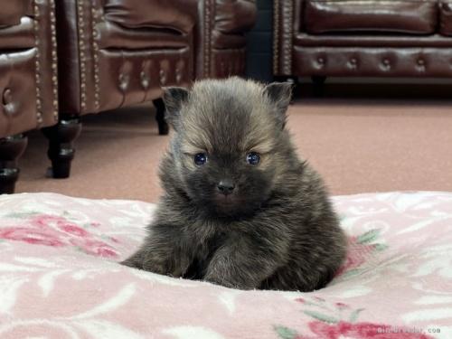ポメラニアンの子犬(ID:1248411149)の1枚目の写真/更新日:2019-10-21