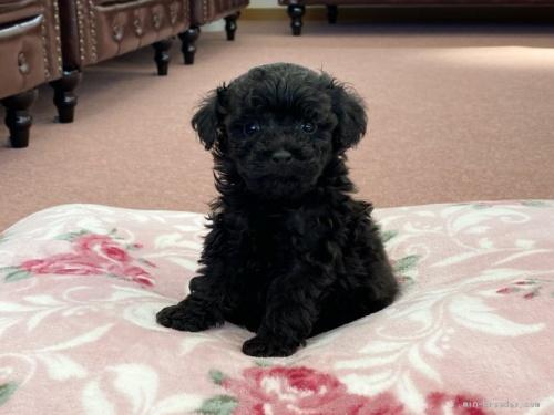 トイプードルの子犬(ID:1248411152)の1枚目の写真/更新日:2018-05-14
