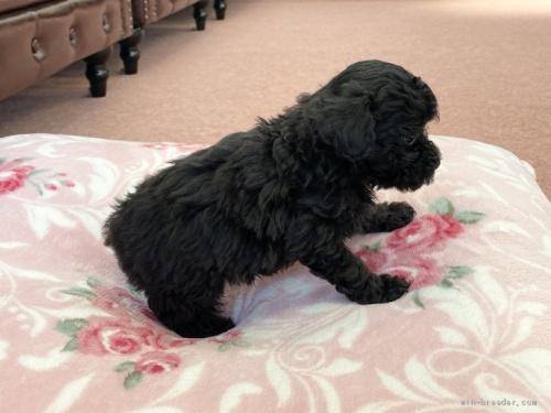 トイプードルの子犬(ID:1248411152)の3枚目の写真/更新日:2020-09-12