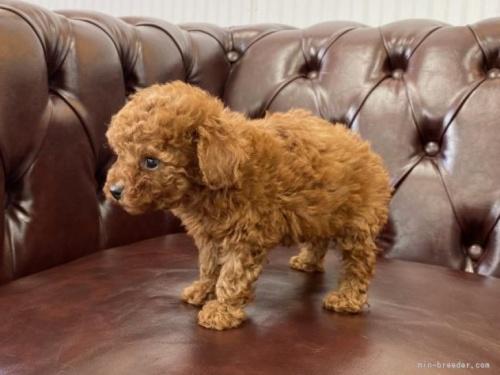 トイプードルの子犬(ID:1248411153)の2枚目の写真/更新日:2018-05-14