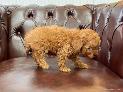 トイプードルの子犬(ID:1248411153)の3枚目の写真/更新日:2021-08-16