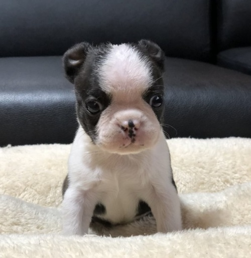 ボストンテリアの子犬(ID:1248411154)の1枚目の写真/更新日:2019-10-28