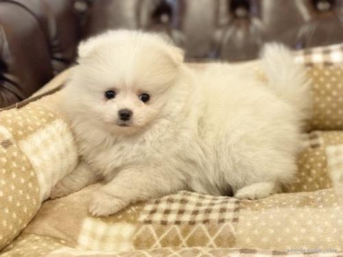 ポメラニアンの子犬(ID:1248411156)の3枚目の写真/更新日:2018-05-21