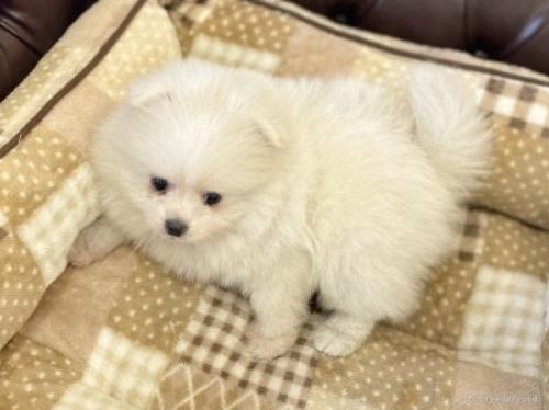 ポメラニアンの子犬(ID:1248411156)の4枚目の写真/更新日:2018-07-23