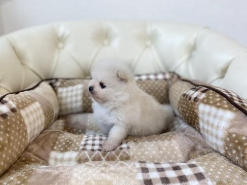 ポメラニアンの子犬(ID:1248411157)の2枚目の写真/更新日:2019-09-17