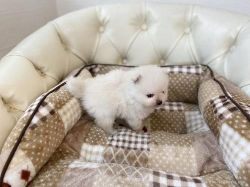 ポメラニアンの子犬(ID:1248411157)の3枚目の写真/更新日:2019-09-17