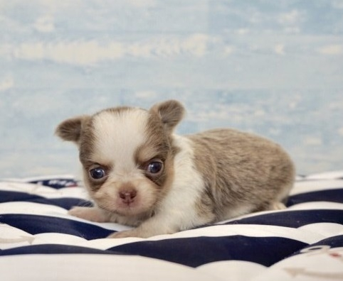 チワワ(ロング)の子犬(ID:1248411158)の1枚目の写真/更新日:2018-05-23