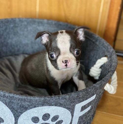 ボストンテリアの子犬(ID:1248411160)の1枚目の写真/更新日:2018-05-23