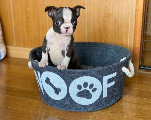 ボストンテリアの子犬(ID:1248411160)の2枚目の写真/更新日:2019-11-18