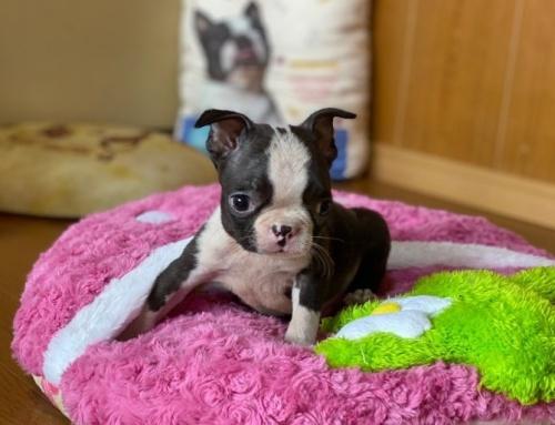 ボストンテリアの子犬(ID:1248411160)の3枚目の写真/更新日:2019-11-18