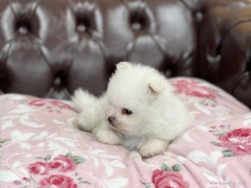 ポメラニアンの子犬(ID:1248411161)の2枚目の写真/更新日:2018-06-03