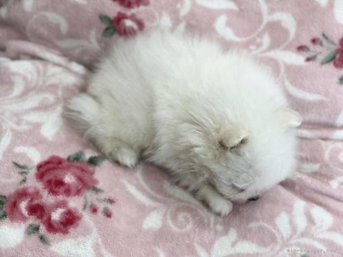 ポメラニアンの子犬(ID:1248411161)の3枚目の写真/更新日:2020-05-09