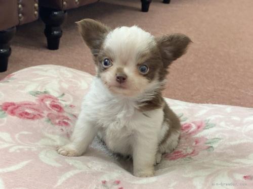 チワワ(スムース)の子犬(ID:1248411162)の1枚目の写真/更新日:2018-06-09