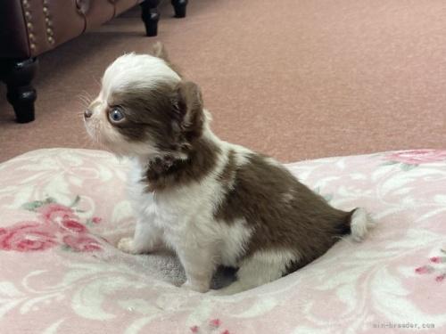 チワワ(スムース)の子犬(ID:1248411162)の2枚目の写真/更新日:2018-06-09