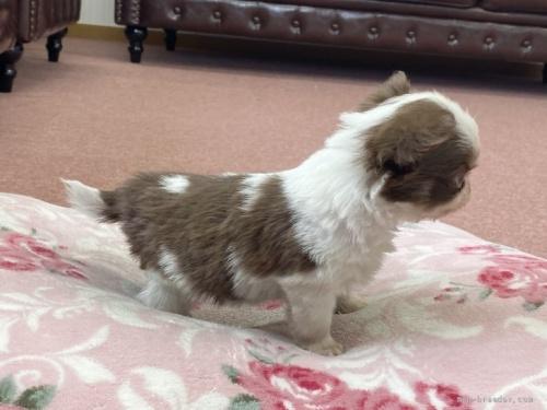 チワワ(スムース)の子犬(ID:1248411162)の3枚目の写真/更新日:2018-06-09