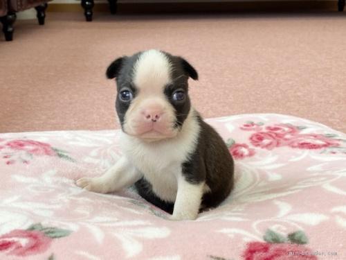 ボストンテリアの子犬(ID:1248411163)の1枚目の写真/更新日:2018-06-03