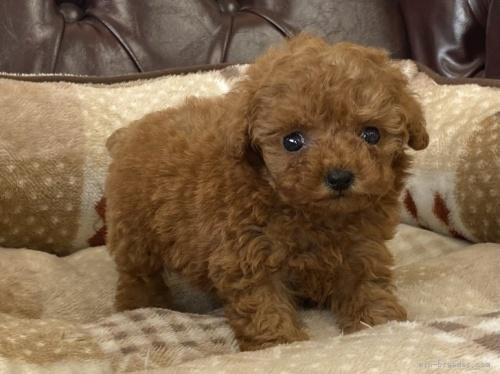 トイプードルの子犬(ID:1248411166)の2枚目の写真/更新日:2021-09-11