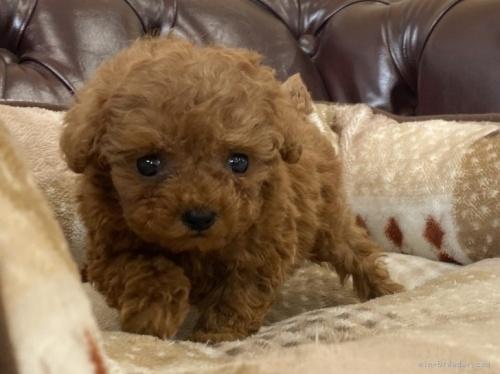 トイプードルの子犬(ID:1248411166)の3枚目の写真/更新日:2021-09-11