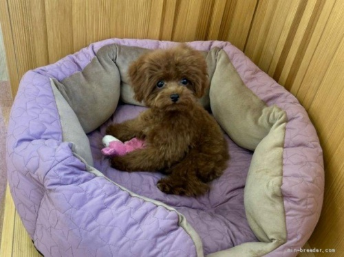 トイプードルの子犬(ID:1248411167)の3枚目の写真/更新日:2021-04-28