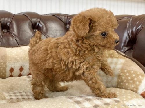 トイプードルの子犬(ID:1248411167)の4枚目の写真/更新日:2021-04-28