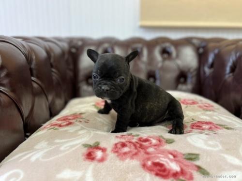 フレンチブルドッグの子犬(ID:1248411173)の2枚目の写真/更新日:2019-05-27