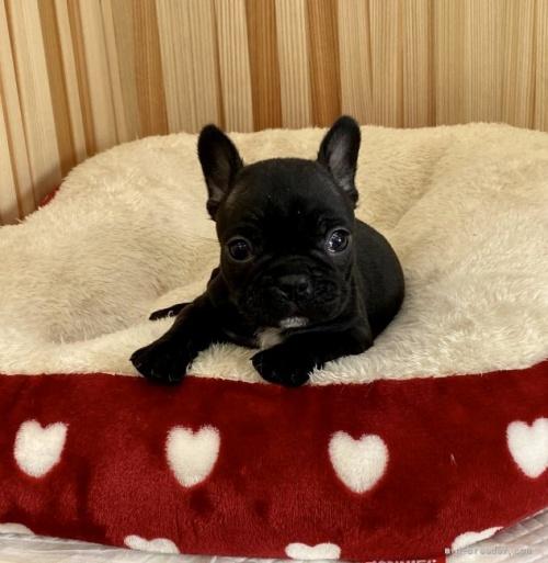 フレンチブルドッグの子犬(ID:1248411174)の1枚目の写真/更新日:2019-05-27