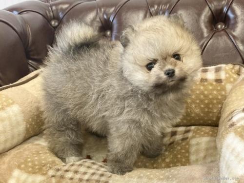ポメラニアンの子犬(ID:1248411176)の2枚目の写真/更新日:2020-11-20