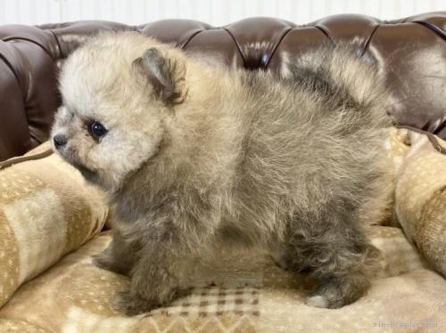 ポメラニアンの子犬(ID:1248411176)の3枚目の写真/更新日:2020-11-20