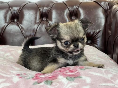 チワワ(ロング)の子犬(ID:1248411178)の2枚目の写真/更新日:2020-10-27