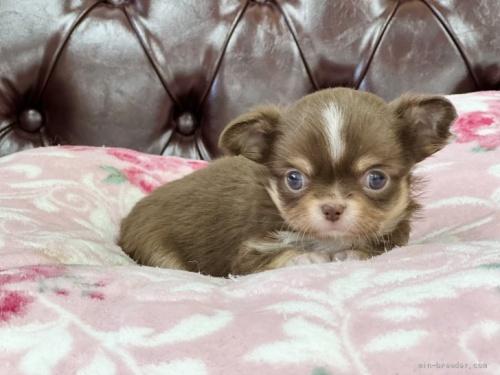 チワワ(ロング)の子犬(ID:1248411179)の2枚目の写真/更新日:2021-07-21