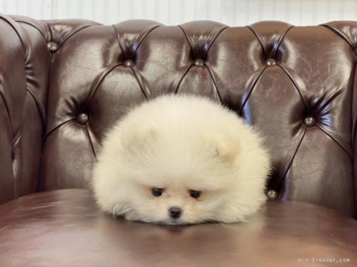ポメラニアンの子犬(ID:1248411183)の5枚目の写真/更新日:2021-06-08