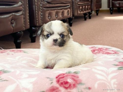 ミックスの子犬(ID:1248411185)の1枚目の写真/更新日:2020-05-09