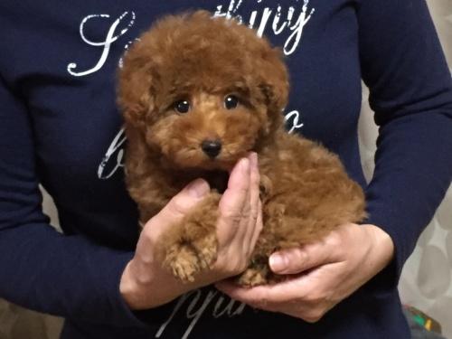 トイプードルの子犬(ID:1248511016)の1枚目の写真/更新日:2017-11-13