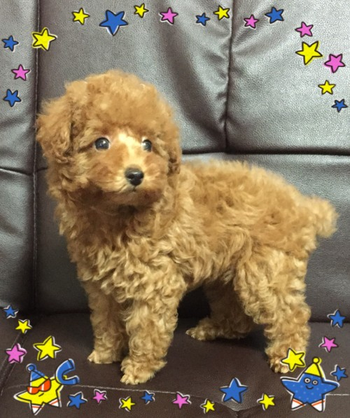 トイプードルの子犬(ID:1248511016)の2枚目の写真/更新日:2017-10-31