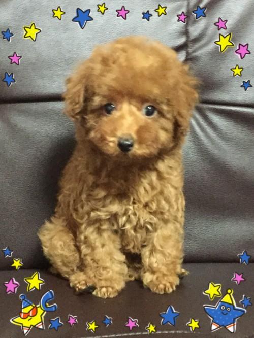 トイプードルの子犬(ID:1248511016)の3枚目の写真/更新日:2017-10-31