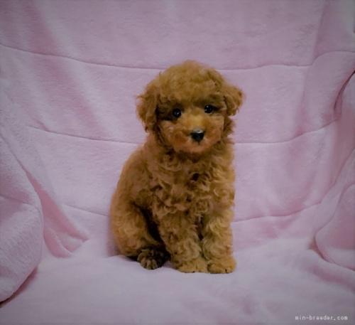 トイプードルの子犬(ID:1248511016)の5枚目の写真/更新日:2017-10-31