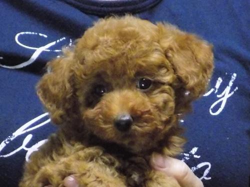 トイプードルの子犬(ID:1248511017)の1枚目の写真/更新日:2017-11-29