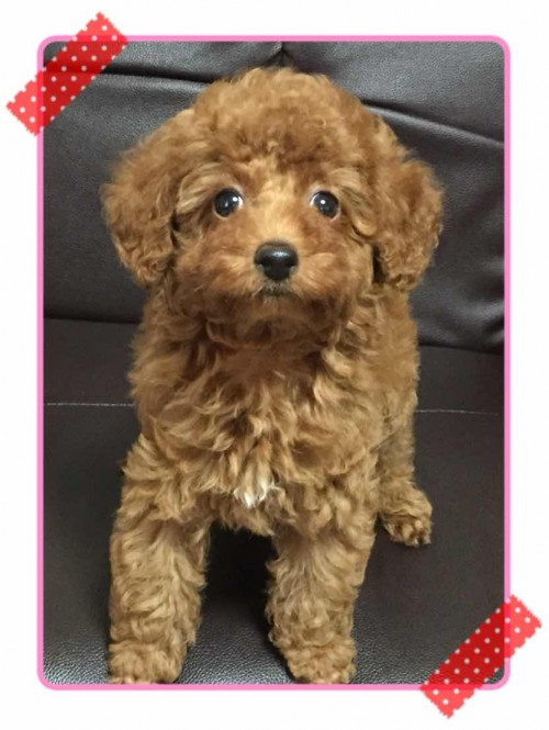 トイプードルの子犬(ID:1248511017)の2枚目の写真/更新日:2017-10-31