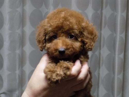 トイプードルの子犬(ID:1248511017)の3枚目の写真/更新日:2017-10-31