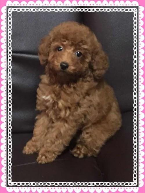 トイプードルの子犬(ID:1248511017)の4枚目の写真/更新日:2017-11-01