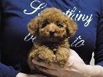 トイプードルの子犬(ID:1248511017)の5枚目の写真/更新日:2017-10-31